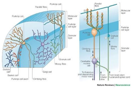 Nature Review Neuroscience Diagram